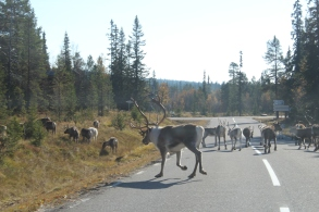 reindeers road swedish north sweden fjällen